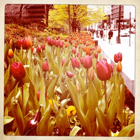 pink tulips, Chicago Loop,
